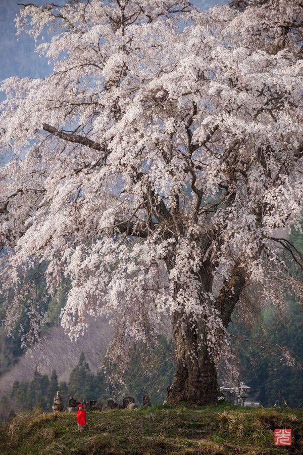 上発知ノ枝垂桜 by Kyrie Egawa on 500px   kamihocchi   Gunma,Japan