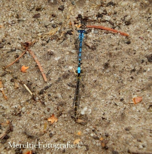 Op deze pagina alle soorten libellen die ik met mijn camera heb weten te vangen. Hopelijk breid deze verzameling zich steeds verder uit.        Juffertje,lantaarntje(Ischnura ele