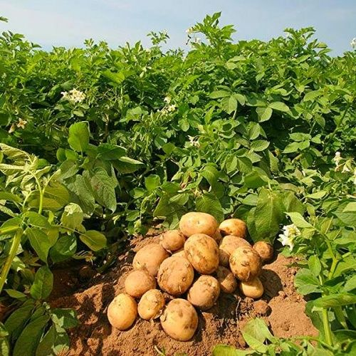 Питание для картофеля