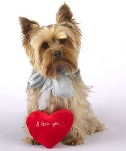 25 best valentine yorkies images on pinterest yorkie - Valentines day pictures with puppies ...