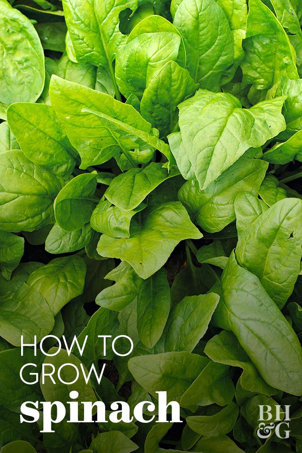 Keep A Fresh Supply Of Spinach At Your Fingertips By Growing It Yourself Spring Vegetable Garden Vegetable Garden For Beginners Growing Spinach