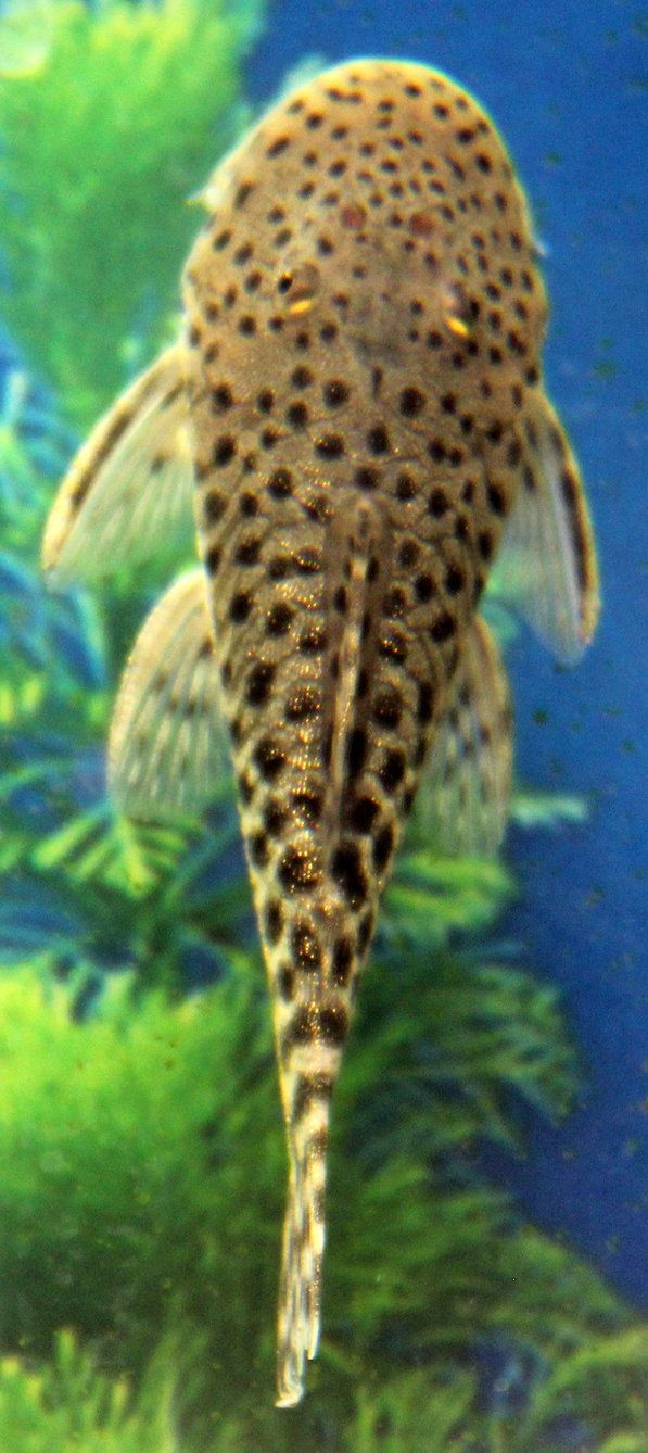 Rubber Lip Plecostomus 2 by elfchild85