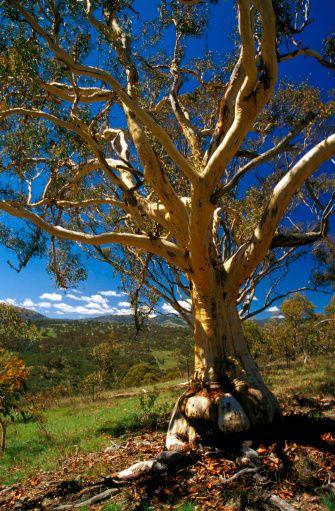Scribbly Gum, Canberra, Australian Capital Territory.