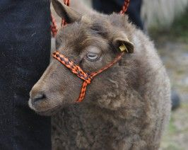 All Breeds Sheep Show & Sale | Maryland Sheep and Wool Festival