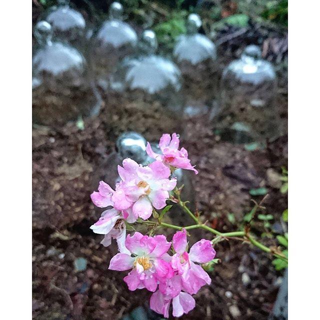 【theforestree】さんのInstagramをピンしています。 《雨の中でバラが満開。植物は連日の雨、ご機嫌。#ボタニカルライフ #花のある暮らし #ばら #ローズ #ナチュラルガーデン #ガーデニング #朝の散歩 #雨の中 #森 #マルシェ #蚤の市 やすみ #雨降り  #autumn #picnic #teatime #morningcoffeetime #intheforest #inthemorning #暮らし #花 #ピクニック #ティータイム #ilovemyplants #ilovemygarden #flowerbloom #botanical #naturalgarden #jardin》