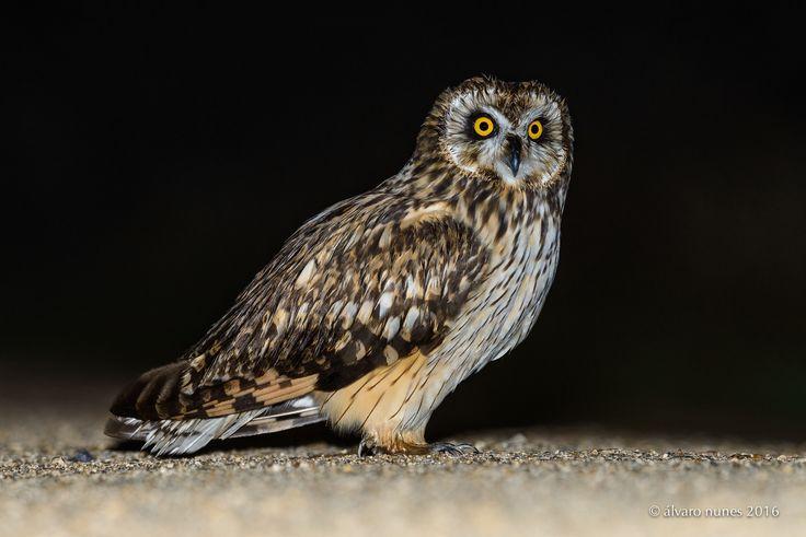 Coruja-do-nabal | Short-eared owl | Asio flammeus - Lezíria Grande de Vila Franca de Xira Portugal