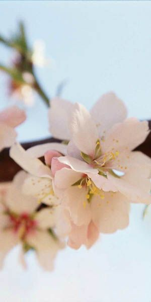 Photo: Almond flower - courtesy of Australian Board of Australia