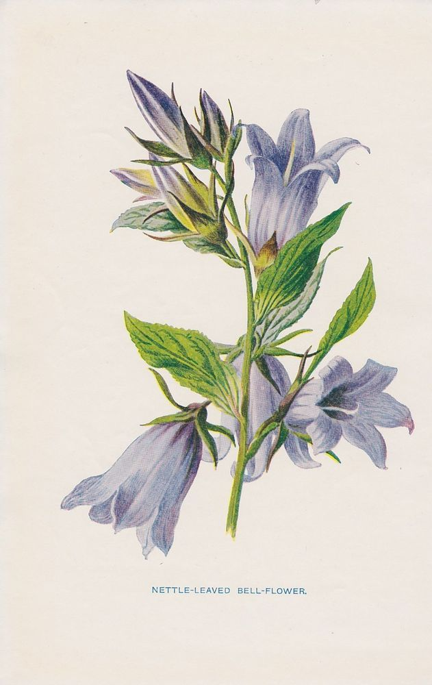 1897 antique Nettle-Leaved Bell-Flower flower lithograph print by Hulme.