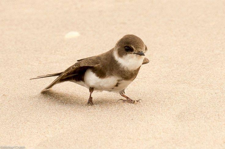 Scotland's Bird Club – Watching over our birds  » Sand Martin