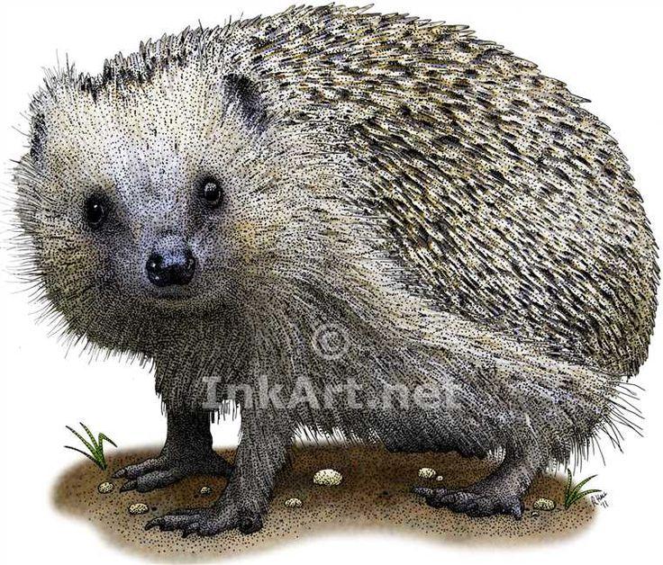 Full color illustration of a European Hedgehog (Erinaceus europaeus)