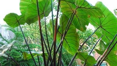 Colocasia esculanta Black Stem - Plantes de collections - Pépinières Morbihan - Les Pépinières Eric Duval à MOLAC