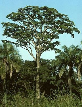 Yohimbe (Pausinystalia Yohimbe) - Yohimbe (Pausinystalia Yohimbe) is also known as johimbe, yumbina, corynanthe yohimbe, and belongs to the family Rubiaceae.  This is a South and Central African tree commonly found in the forests and jungles of Cameroon, Congo, West Africa and Gabon. Yohimbe has been used in African folk medicine for centuries.