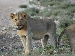 Interesting places to visit in Namibia - Western Etosha National Park - See how to get the most out of your ... The lions of western Etosha are regarded as the most ferocious in the game park. Frank Vassen Lions....#wildlife #namibia #photosafari #tourism #extremefrontiers #bush #adventure #holiday #vacation #safari #tourist #travel