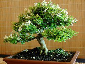 Cómo crear un bonsái | Cuidar de tus plantas es facilisimo.