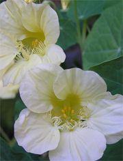 SLINGERKRASSE Ljuvlig slingerkrasse med blekt gräddgula till vita blommor, världens vitaste slingerkrasse hittills. Sol-halvskygge
