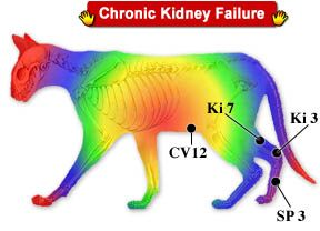NATURAL TREATMENTS FOR CATS IN CHRONIC KIDNEY FAILURE - How to use Diet, Herbs, Nutritional Supplements, Homeopathic Medicines and Acupressure in home treatments for feline renal disease...  http://petremedycharts.blogspot.com/2010/10/chronic-feline-renal-or-kidney-failure.html