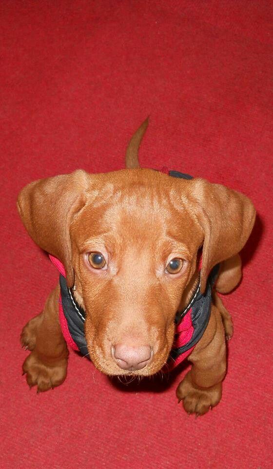 7 week's vizsla puppy