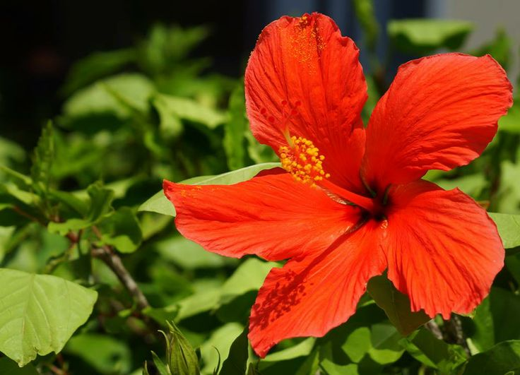 Flower - Hibiscus flower