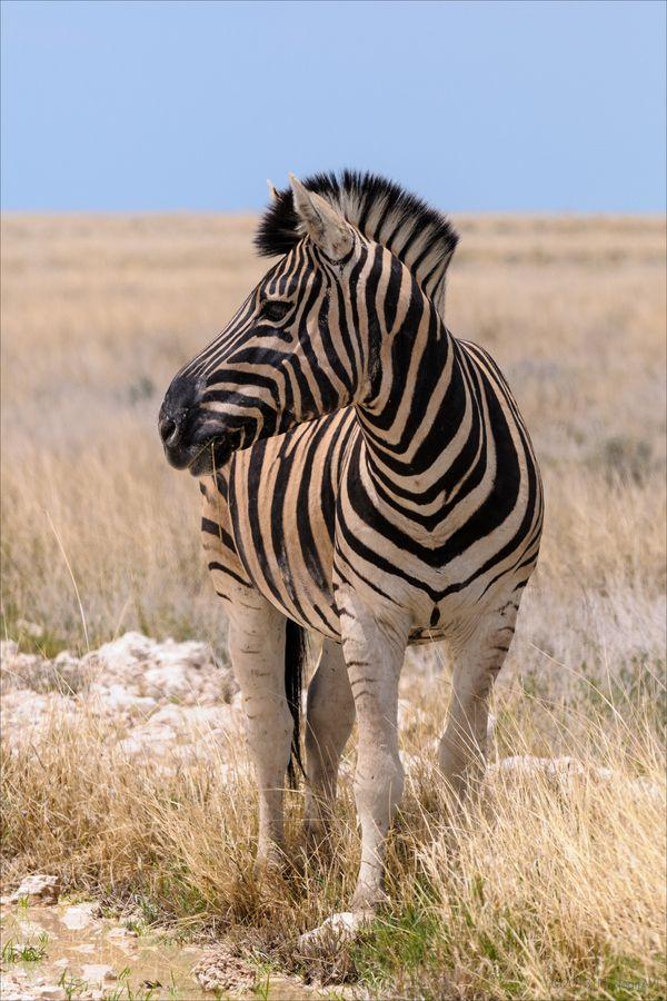 Burchell's Zebra - Etosha National Park, Namibia