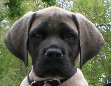 Can't get any cuter--english mastiff
