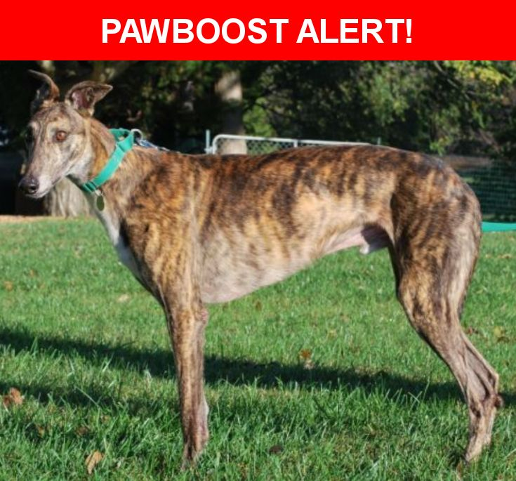 Please spread the word! Tubby was last seen in Dunkirk, MD 20754.  Description: Brindle Greyhound - last seen trailing a green leash - sightings in Cedarwood and Dunleigh - originally lost off Lyons Creek Rd. on December 17.    *****CALL 301-980-8671*****  Nearest Address: Lyons Creek Road, Dunkirk, MD