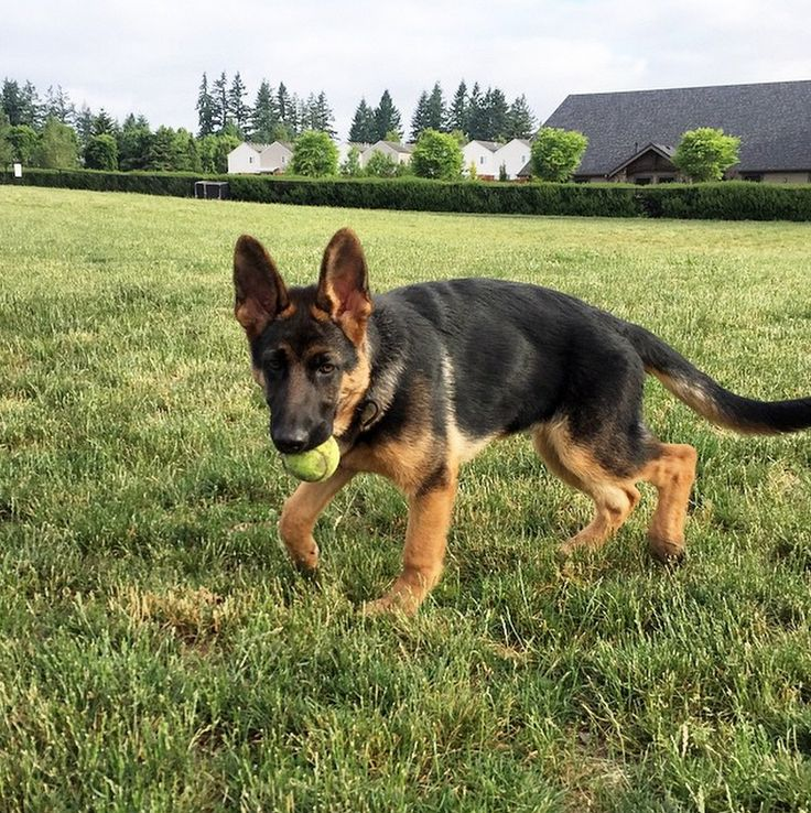 Puppy's day out at Dakota Memorial Dog Park! - Vancouver, WA - Angus Off-Leash #dogs #puppies #cutedogs #dogparks #vancouver #washington #angusoffleash #germanshepherd #bigdogs: