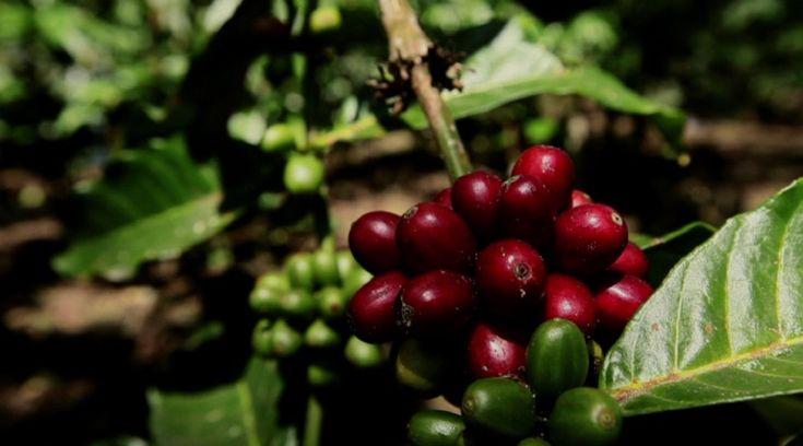 Sumatra merupakan salah satu pulau terbesar di Indonesia. Kopi-kopi sumatra punya jejak rasa kayu, bertekstur tebal, berkeasaman renda...