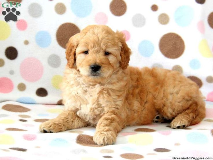 Sirius A Mini Goldendoodle Puppy Goldendoodles Dogs I Love