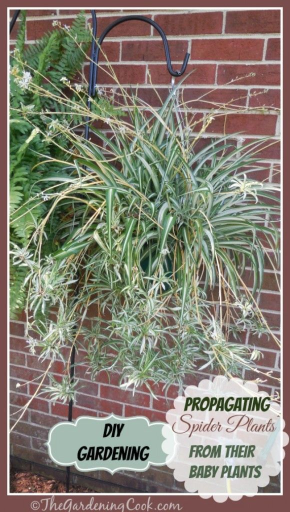 New plants for Free! Spider plants are one of the easiest plants to grow new plants from their baby offsets. Find out how to do it at thegardeningcook.com