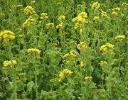 Mustard plant in a farm field. Note for bright yellow colored flowers.White mustard seeds (Brassica alba): The seeds are light straw yellow colored and are slightly larger than the other two varieties. White seeds are mild pungent.Black mustards ( Brassica nigra): The seeds are commonly seen in South Asia. The seeds are sharp and more pungent than other two varieties.Brown mustards (Brassica juncea): The seeds are native to sub- Himalayan plains of Northern India.