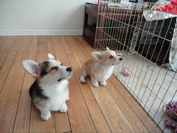 Sweet puppiesDogs, Puppies Corgis, Corgis Lovee, Lovey, Pets Animal, Latest Obsession, Furries Friends, Sweets Puppies, Animal Box