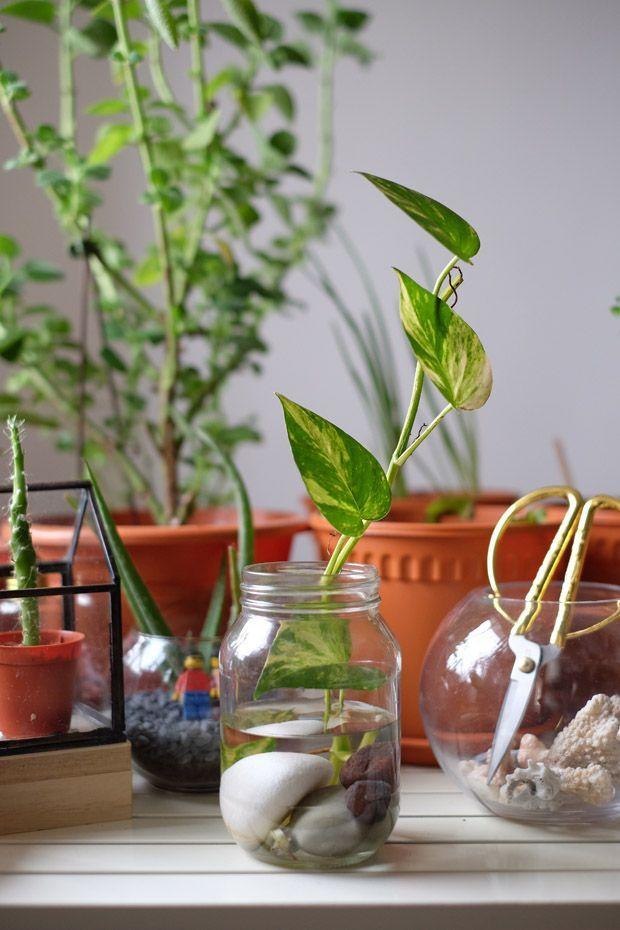 Diy Money Plant In Glass Bottle Jewelpie Bottle Diy Glass Jewelpie Money Plant In 2020 Plant In Glass Plants In Bottles Money Plant In Water