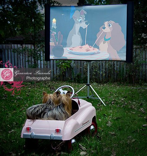 "Yorkies at the drive-in watching ""Lady and the Tramp""."