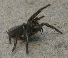 SYDNEY FUNNEL WEB /Cette espèce est endémique de Nouvelle-Galles du Sud en Australie1. Elle se rencontre au Sud du fleuve Hunter, à l'Est des Montagnes bleues et jusqu'à la région d'Illawarra au Sud2. Elle est très présente dans la banlieue de Sydney.
