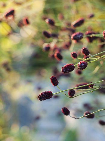 Blodtopp - VÄXTSÄTT: En ståtlig inbjudande växt som blommar länge med svajande blodröda toppar till en höjd på ca, 120 cm i juni-augusti. Mycket vacker tillsammans med det högresta gräset Mis..