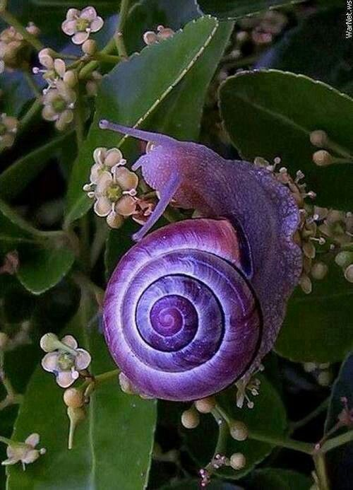 Janthina janthina (common name: the purple snail). This species is found worldwide in the warm waters of tropical and temperate seas, floating at the surface.