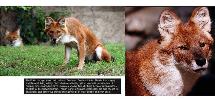 Cuon alpinus , aziatische wilde hond , alp -hond, rode hond, Adjak http://www.cuon.net/dholes/