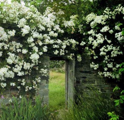rambling rector rose seems perfect to put in the garden. Black Bedroom Furniture Sets. Home Design Ideas