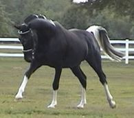 A beautiful horse, used in Dressage.      Warmblood Horse For Sale at Shirefox Farm in Washington