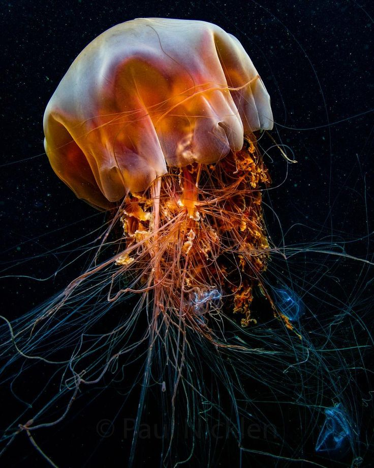 Cur Valdo: Underwater creatures |Longest Jellyfish Ever Recorded
