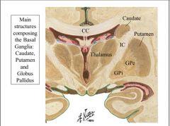 Basal Ganglia Anatomy and Function Flashcards - Cram.com