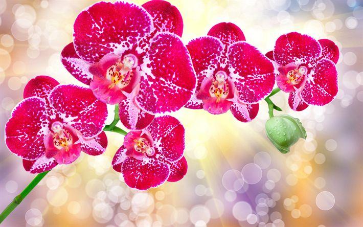 Lataa kuva vaaleanpunainen orkideat, trooppisia kukkia, haara orkidea, kauniita kukkia, orkideat