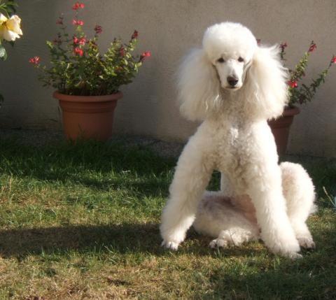 Standard Poodle, White