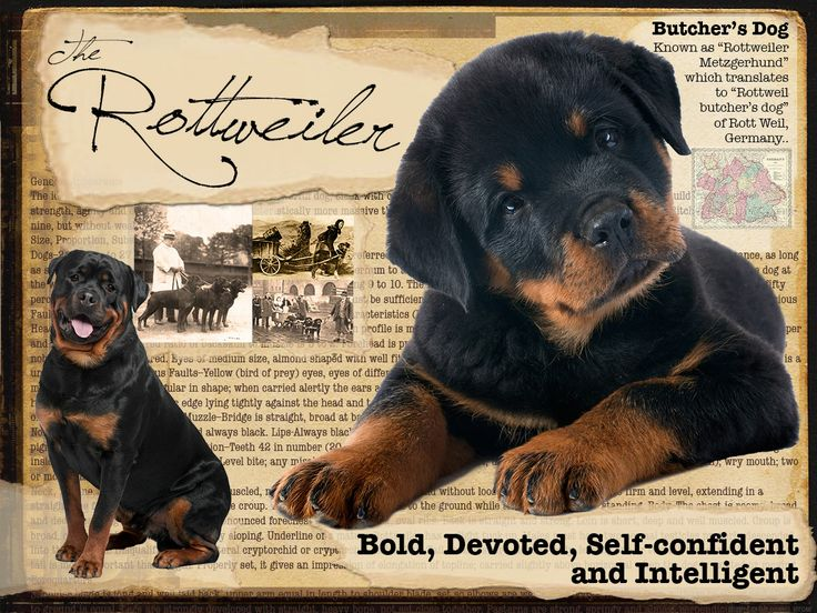 Rottweiler tshirt This shirt will be available at The