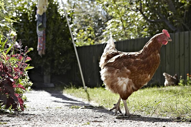 How to Raise and Keep Chickens (For Eggs)