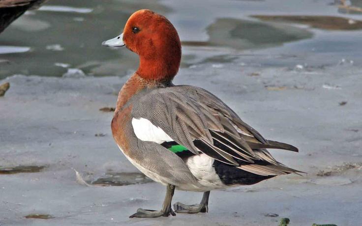 18 best Eurasian wigeon images on Pinterest Ducks
