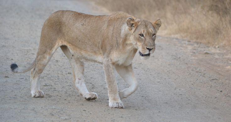 Lion at Duke S137