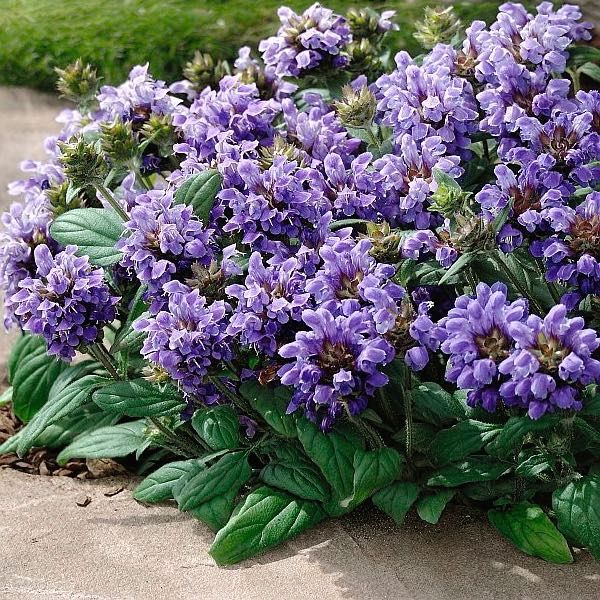 Freelander Blue Prunella Seeds Perennial Ground Cover