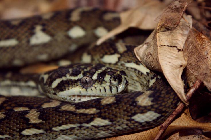 "Coastal carpet/diamond python. ""Mrs Roper"". (Snakes, reptiles)."