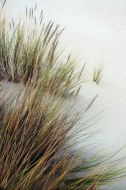 75 best ornamental grass images on pinterest gardening for Ornamental sea grass